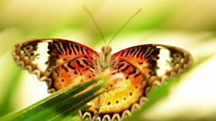 A beautiful Cethosia Hypsea Hypsina (Malay Lacewing) Stock Footage
