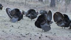 Wild Turkey Gobblers Strutting Calling Plus Bearded Hens Stock Footage