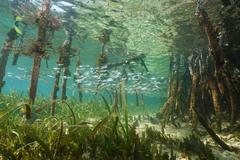 Mangrove ecosystem underwater with school of fish - stock photo