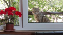 Cat begs to let in the house - stock footage
