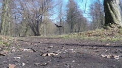 Hooded Crow on the landing approach Stock Footage
