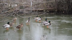 A Raft of Mallard and Buff Ducks Walking and sliding on a Frozen Lake 60fps - stock footage