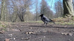 Hooded Crow in food intake Stock Footage