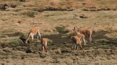 Guanacos graze at the mountains in Lauca National Park, Chile. Stock Footage