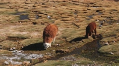 Alpacas graze at the meadow in Lauca National Park, Chile. Stock Footage