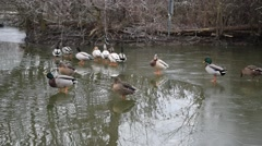 A Raft of Mallard and Buff Ducks on a Frozen Lake. Some of the Ducks Slip 60fps Stock Footage