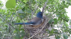 Scrub jay Documentary bird looking alert feeding examins eggs GoPro V17221 Stock Footage
