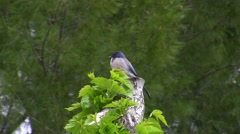Stock Video Footage of Scrub Jay Documentary zoomed male on stump Canon HF100 V17246