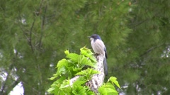 Stock Video Footage of Scrub Jay Documentary zoomed male on stump looking alert Canon HF100 V17250