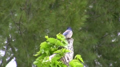 Scrub Jay Documentary zoomed male on stump diff position Canon HF100 V17252 Stock Footage