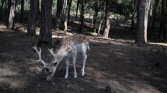 Fallow deers in the woods. Stock Footage
