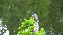 Scrub Jay Documentary zoomed male on stump looking alert Canon HF100 V17253 - stock footage