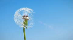 A dandelion seed takes to the air. Stock Footage