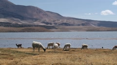 Llamas graze at Chungara lake bank in in Lauca National Park, Chile. Stock Footage