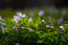 White anemones (Anemone nemorosa). Stock Photos