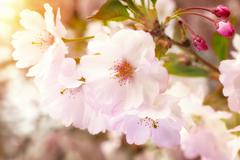 Dreamy spring blossoms - stock photo