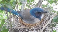 Scrub Jay Nest Documentary female in nest zoomed GoPro Hero3+ Black V17277 Stock Footage