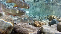 Brooks trouts back side Stock Footage
