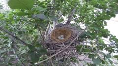 Scrub Jay Nest Documentary female returns to nest and sits GoPro Hero3+ V17286 Stock Footage