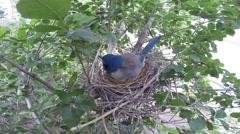Scrub Jay Nest Documentary female calling leaves nest GoPro Hero3+ Black V17285 Stock Footage
