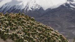 Andean flowers with the Parinacota volcano at the background, Chile. Stock Footage