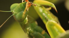 Insect Praying mantis Stock Footage