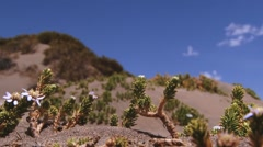 Andean flowers with the blue sky and clouds in Lauca National Park, Chile. Stock Footage