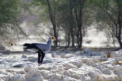 Secretary Bird drinks from a waterhole, Kalahari desert - stock photo