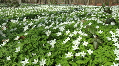 First spring flowers. Stock Footage
