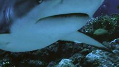 Close underwater shot of Grey Reefshark swimming towards camera, Red Sea Stock Footage