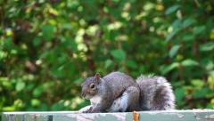 Brown squirrel on picknick table makes noise Stock Footage