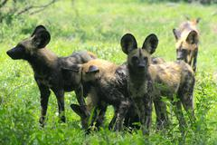 African wild dog pack stand together and look alert, Kruger Park - stock photo