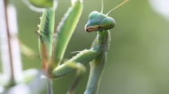 Insect Praying mantis Stock Footage
