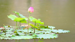 HD: Lotus (water lily) flower with rain globs in gentle breez, 1920x1080 Stock Footage