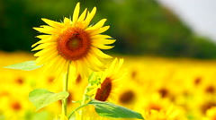 HD: Sunflowers in the wind, 1920x1080 Stock Footage