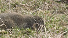 Goundhog eats on the ground Stock Footage