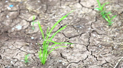 HD: Shallow green bush on a background of dry ground, 1920x1080 Stock Footage