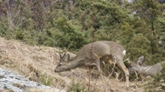 Stock Video Footage of Two roe deers eats, high quality