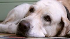 Labrador retriever golden. Stock Footage