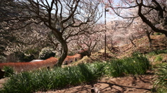 Motion Control Time Lapse of Japanese Plum Trees 2 -Tilt Up/Pan Right- Zoom In Stock Footage