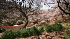 Motion Control Time Lapse of Japanese Plum Trees 2 -Tilt Up/Pan Right- Stock Footage