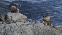 Ibexes licking salt on rocks above a glacier Stock Footage