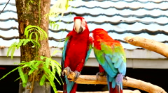 The red-and-blue Macaw (Ara ararauna) Stock Footage