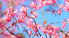 HD: Sakura floral, Pink flower in the wind, 1920x1080 Stock Footage