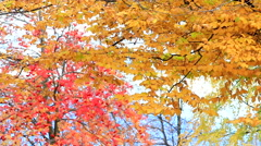 HD: Autumn red maple leaves with yellow foliage in the background, 1920x1080 Stock Footage