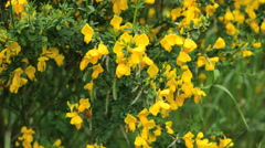 New Zealand scotch broom in focus and out Stock Footage