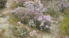 New Zealand pale purple wild flowers on dry earth Stock Footage