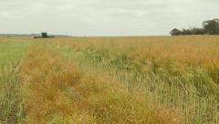 Combine Harvester Approaching While Swathing a Canola Crop for Harvest - stock footage