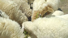 Sheep, lamp feeding deliciously with grass Stock Footage