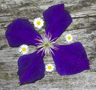 blossoms of clematis and daisy on wooden background - stock photo